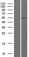 CDS1 Protein - Western validation with an anti-DDK antibody * L: Control HEK293 lysate R: Over-expression lysate