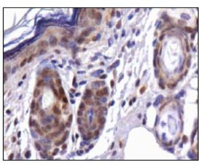 Immunohistochemistry: Cdx1 Antibody - Analysis of CDX1 in mouse skin.  This image was taken for the unconjugated form of this product. Other forms have not been tested.