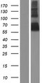 CEACAM20 Protein - Western validation with an anti-DDK antibody * L: Control HEK293 lysate R: Over-expression lysate