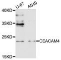 Western blot analysis of extracts of various cell lines, using CEACAM4 antibody at 1:1000 dilution. The secondary antibody used was an HRP Goat Anti-Rabbit IgG (H+L) at 1:10000 dilution. Lysates were loaded 25ug per lane and 3% nonfat dry milk in TBST was used for blocking. An ECL Kit was used for detection and the exposure time was 30s.