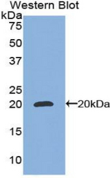 Western blot of recombinant CEBPG / CEBP Gamma.  This image was taken for the unconjugated form of this product. Other forms have not been tested.