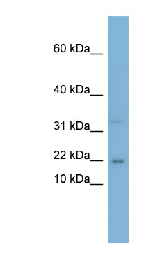 CEBPG / CEBP Gamma antibody LS-C108045 Western blot of PANC1 cell lysate.  This image was taken for the unconjugated form of this product. Other forms have not been tested.