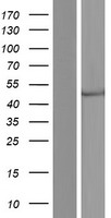 CECR5 Protein - Western validation with an anti-DDK antibody * L: Control HEK293 lysate R: Over-expression lysate