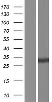CELA1 / Pancreatic Elastase 1 Protein - Western validation with an anti-DDK antibody * L: Control HEK293 lysate R: Over-expression lysate