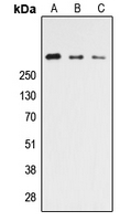 Western blot analysis of CELSR3 expression in HEK293T (A); NS-1 (B); PC12 (C) whole cell lysates.