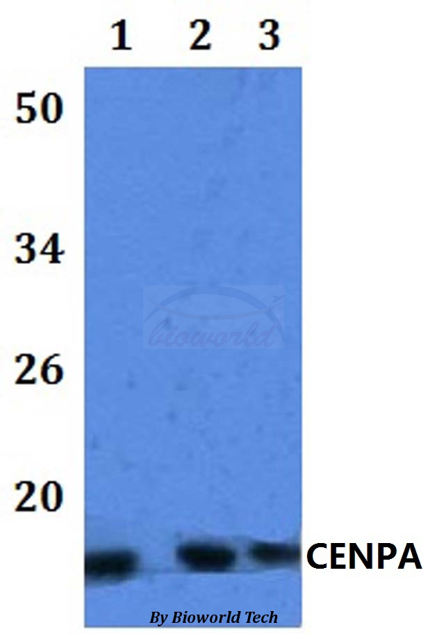 Western blot of CENPA antibody at 1:500 dilution. Lane 1: HEK293T whole cell lysate. Lane 2: Raw264.7 whole cell lysate. Lane 3: H9C2 whole cell lysate.
