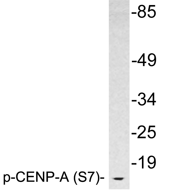 Western blot analysis of lysates from HeLa cells, using phospho-CENP-A (Phospho-Ser7) antibody.