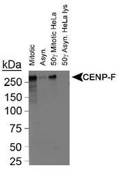 Detection of CENP-F.  This image was taken for the unconjugated form of this product. Other forms have not been tested.