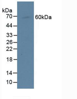 CENPI / CENP-I Antibody - Western Blot; Sample: Human Raji Cells.
