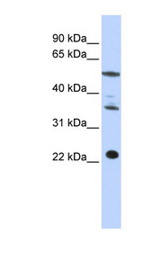CENPM antibody LS-C102218 Western blot of HepG2 cell lysate.  This image was taken for the unconjugated form of this product. Other forms have not been tested.