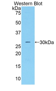 Western blot of recombinant CFD / Factor D / Adipsin.  This image was taken for the unconjugated form of this product. Other forms have not been tested.