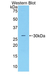 CFD / Factor D / Adipsin Antibody - Western blot of recombinant CFD / Factor D / Adipsin.  This image was taken for the unconjugated form of this product. Other forms have not been tested.