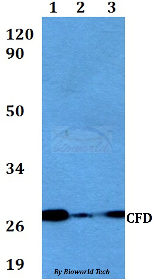 Western blot of CFD antibody at 1:500 dilution. Lane 1: A549 whole cell lysate. Lane 2: sp2/0 whole cell lysate. Lane 3: PC12 whole cell lysate.