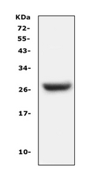 CFD / Factor D / Adipsin Antibody - Western blot analysis of Factor D using anti-Factor D antibody. Electrophoresis was performed on a 5-20% SDS-PAGE gel at 70V (Stacking gel) / 90V (Resolving gel) for 2-3 hours. The sample well of each lane was loaded with 50ug of sample under reducing conditions. Lane 1: mouse lung tissue lysates, After Electrophoresis, proteins were transferred to a Nitrocellulose membrane at 150mA for 50-90 minutes. Blocked the membrane with 5% Non-fat Milk/ TBS for 1.5 hour at RT. The membrane was incubated with rabbit anti-Factor D antigen affinity purified polyclonal antibody at 0.5 µg/mL overnight at 4°C, then washed with TBS-0.1% Tween 3 times with 5 minutes each and probed with a goat anti-rabbit IgG-HRP secondary antibody at a dilution of 1:10000 for 1.5 hour at RT. The signal is developed using an Enhanced Chemiluminescent detection (ECL) kit with Tanon 5200 system. A specific band was detected for Factor D at approximately 27KD. The expected band size for Factor D is at 27KD.
