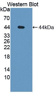 Western blot of CFH / Complement Factor H antibody.