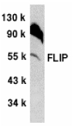 CFLAR / FLIP Antibody - Western blot of mFLIP in NIH/3T3 whole cell lysate with anti-mFLIP (CT) at 1:500 dilution.