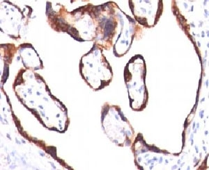 Immunohistochemical testing of human placenta with HCG-beta antibody (HCGb/459).  This image was taken for the unmodified form of this product. Other forms have not been tested.
