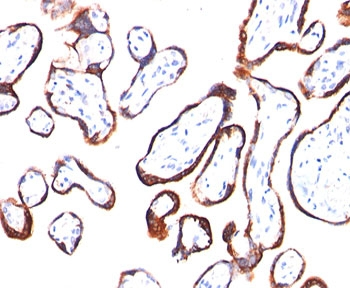 HCG-beta antibody HCGb/54 immunohistochemistry.  This image was taken for the unmodified form of this product. Other forms have not been tested.