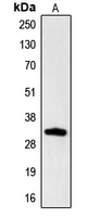 Western blot analysis of Hydrophobestin expression in HL60 (A) whole cell lysates.