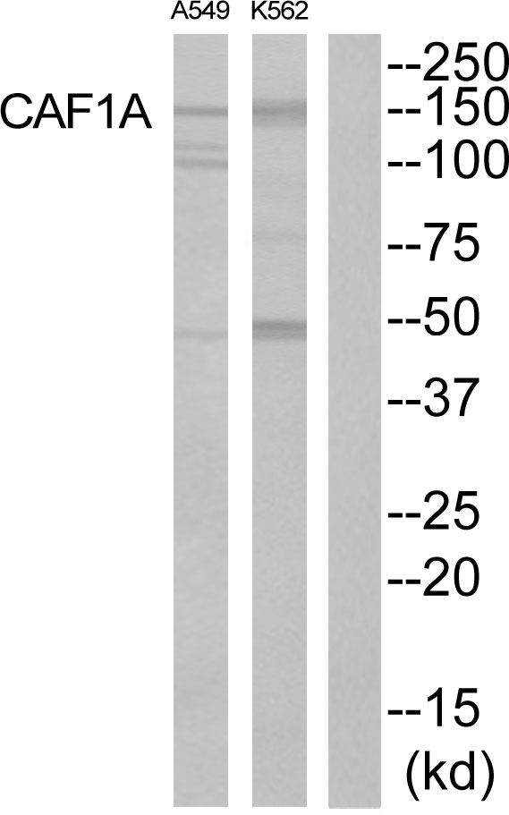 Western blot of extracts from K562 cells and A549 cells, using CAF1A antibody.