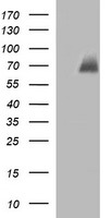 CHAF1B / CAF1 Antibody - HEK293T cells were transfected with the pCMV6-ENTRY control (Left lane) or pCMV6-ENTRY CHAF1B (Right lane) cDNA for 48 hrs and lysed. Equivalent amounts of cell lysates (5 ug per lane) were separated by SDS-PAGE and immunoblotted with anti-CHAF1B.