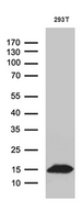 CHCHD10 Antibody - Western blot analysis of extracts. (35ug) from 293T cell line by using anti-CHCHD10 monoclonal antibody. (1:500)