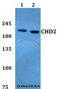 CHD2 Antibody - Western blot of CHD2 antibody at 1:500 dilution. Lane 1: HEK293T whole cell lysate. Lane 2: A549 whole cell lysate.