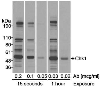 Detection of Human Chk1 by Western Blot. Samples: Whole cell lysate (20 ug) from HeLa cells. Antibody: Affinity purified rabbit anti-Chk1 antibody used at the indicated concentrations. Detection: Chemiluminescence with exposure times of 15 seconds and 1 hour.