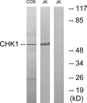 CHEK1 / CHK1 Antibody - Western blot analysis of lysates from COS7 and JurKat cells, using Chk1 Antibody. The lane on the right is blocked with the synthesized peptide.