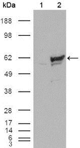 Western Blot: Chk1 Antibody (2G1D5) - Western blot analysis using Chk1 mouse mAb against HEK293T cells transfected with the pCMV6-ENTRY control (1) and pCMV6-ENTRY Chk1 cDNA (2).  This image was taken for the unconjugated form of this product. Other forms have not been tested.