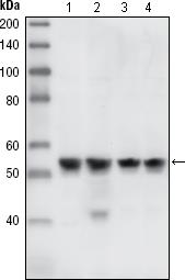 Western Blot: Chk1 Antibody (2G1D5) - WB analysis using anti-Chk1 mouse mAb against A431 (1), HeLa (2), NIH/3T3 (3) and K562 (4) cell lysates.  This image was taken for the unconjugated form of this product. Other forms have not been tested.