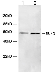 Western blot of cell lysate using 1 ug/ml Rabbit Anti-Chk1 (Ser280) Polyclonal Antibody. Lane 1: HeLa cell lysate. Lane 2: HEK293 cell lysate. The signal was developed with IRDye 800 Conjugated Goat Anti-Rabbit IgG.
