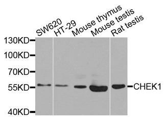 CHEK1 / CHK1 Antibody - Western blot analysis of extracts of various cells.