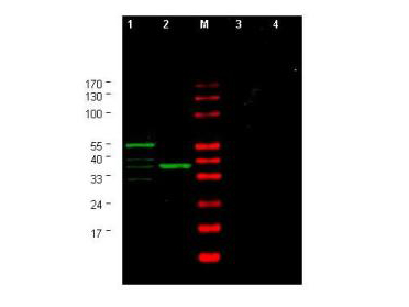 CHEK1 / CHK1 Antibody - Anti-Yeast CHK1 Antibody - Western Blot. Western blot of Affinity Purified anti-Yeast CHK1 antibody shows detection of a bands corresponding to CHK1 in Saccharomyces cerevisiae lysates. Two strains of S. cerevisiae were tested. Lane 1 shows a predominant band at ~60 kD. Lane 2 shows a predominant band at ~38 kD. Specific band staining is blocked when antibody is preincubated for 45 min at room temperature with 50 ug of peptide immunogen (lanes 3 and 4 respectively). Lysates were separated by 4-20% SDS-PAGE and transferred onto nitrocellulose. After blocking, the membrane was probed for 2 h at room temperature with the primary antibody diluted to 1:750 in blocking buffer diluted 1:5 in PBS. The membrane was washed and reacted with a 1:10000 dilution of IRDye800 conjugated Gt-a-Rabbit IgG [H&L] MX ( for 45 min at room temperature (800 nm channel, green). Molecular weight estimation was made by comparison to prestained MW markers in lane M (700 nm channel, red). IRDye800 fluorescence image was captured using the Odyssey Infrared Imaging System developed by LI-COR. IRDye is a trademark of LI-COR, Inc. Other detection systems will yield similar results.