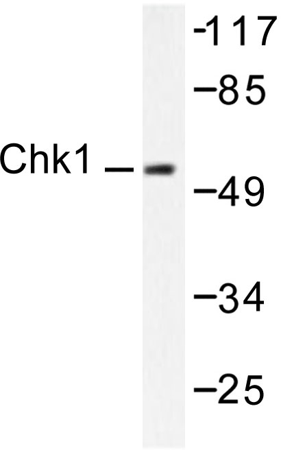 Western blot of Chk1 (K274) pAb in extracts from HeLa cells.