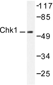CHEK1 / CHK1 Antibody - Western blot of Chk1 (K274) pAb in extracts from HeLa cells.