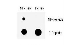 Dot blot of anti-Phospho-CHK1-S317 Antibody on nitrocellulose membrane. 50ng of Phospho-peptide or Non Phospho-peptide per dot were adsorbed. Antibodies working concentration was 0.5ug per ml.