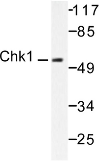 CHEK1 / CHK1 Antibody - Western blot of Chk1 (V339) pAb in extracts from HT29 cells.