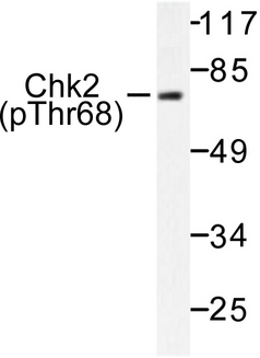 Western blot of p-Chk2 (T68) pAb in extracts from NIH/3T3 cells treated with UV.