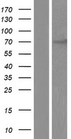 CHFR Protein - Western validation with an anti-DDK antibody * L: Control HEK293 lysate R: Over-expression lysate