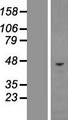 CHI3L1 / YKL-40 Protein - Western validation with an anti-DDK antibody * L: Control HEK293 lysate R: Over-expression lysate