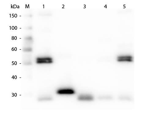 Rat IgG Antibody - Western Blot of Anti-Rat IgG (H&L) (CHICKEN) Antibody  Lane M: 3 µl Molecular Ladder. Lane 1: Rat IgG whole molecule  Lane 2: Rat IgG F(c) Fragment  Lane 3: Rat IgG Fab Fragment  Lane 4: Rat IgM Whole Molecule  Lane 5: Rat Serum  All samples were reduced. Load: 50 ng per lane.