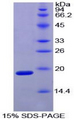 Recombinant Hypoxia Inducible Factor 1 Alpha By SDS-PAGE