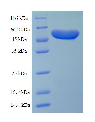 ompA Protein