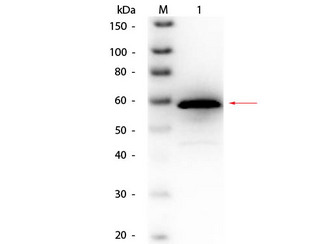 Choline Oxidase Antibody - Western Blot of Goat anti-Choline Oxidase (Alcaligenes species) Antibody Biotin Conjugated. Lane 1: Choline Oxidase (Alcaligenes species). Load: 50 ng per lane. Primary antibody: Goat anti-Choline Oxidase (Alcaligenes species) Antibody Biotin Conjugated at 1:1,000 overnight at 4°C. Secondary antibody: HRP streptavidin secondary antibody at 1:40,000 for 30 min at RT. Block: MB-070 for 30 min at RT. Predicted/Observed size: 60 kDa, 60 kDa for Choline Oxidase
