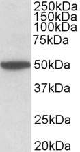 CHRM2 antibody (2 ug/ml) staining of Mouse Brain lysate (35 ug protein in RIPA buffer). Primary incubation was 1 hour. Detected by chemiluminescence.