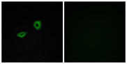 Immunofluorescence analysis of A549 cells, using CHRM5 Antibody. The picture on the right is blocked with the synthesized peptide.