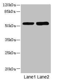CHRNE Antibody - Western blot All lanes: CHRNE antibody at 1.87µg/ml Lane 1: Hela whole cell lysate Lane 2: HepG2 whole cell lysate Secondary Goat polyclonal to rabbit IgG at 1/10000 dilution Predicted band size: 55 kDa Observed band size: 55 kDa