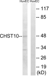 Western blot analysis of lysates from HUVEC cells, using CHST10 Antibody. The lane on the right is blocked with the synthesized peptide.