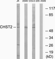 Western blot analysis of lysates from A549, COLO, and Jurkat cells, using CHST2 Antibody. The lane on the right is blocked with the synthesized peptide.